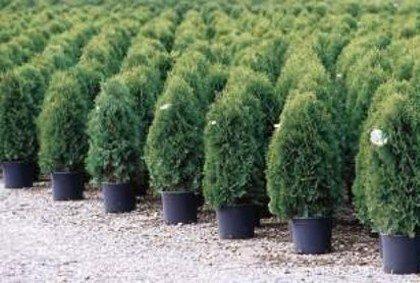Arborvitae (Thuja)