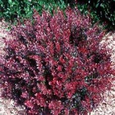 Barberry (Berberis)