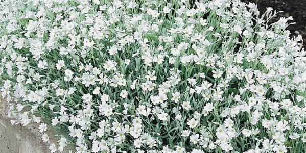 Cerastium (snow in summer)