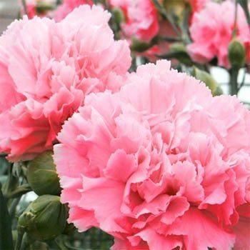 Dianthus (carnation/pinks)
