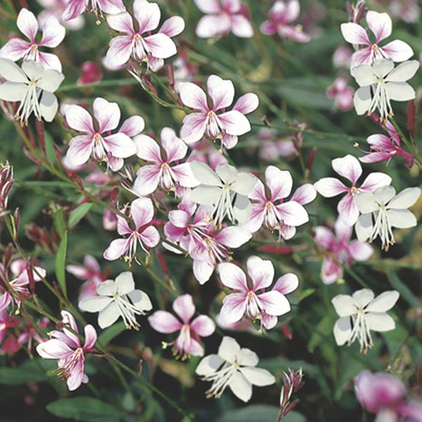 Gaura (Indian Feather)