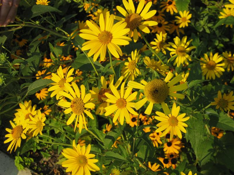 Heliopsis (false sunflower)