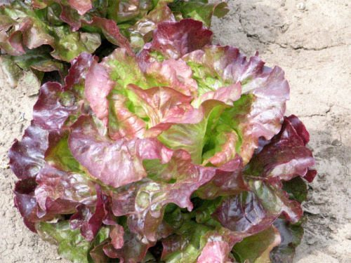Lettuce, Red Sails