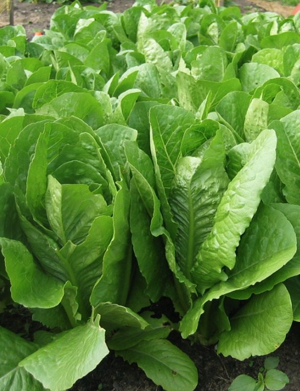 Lettuce, Mix