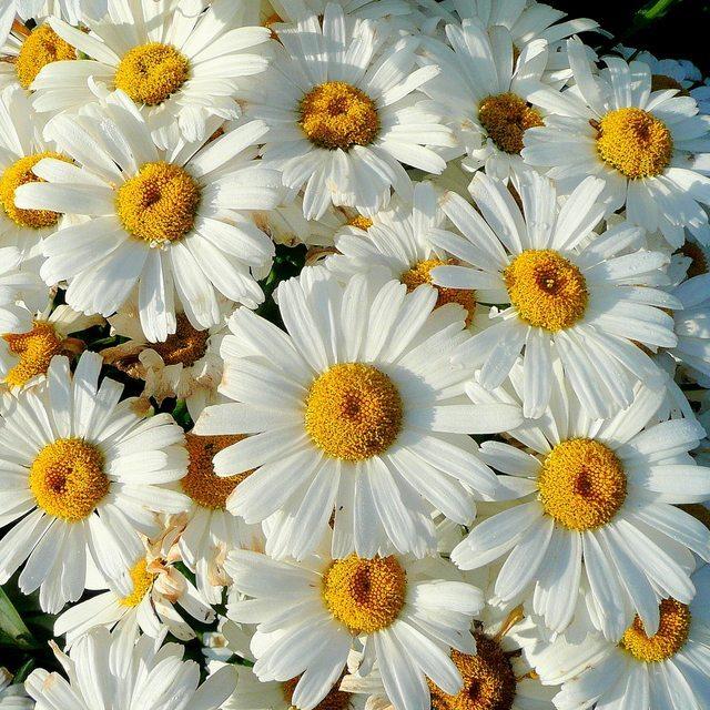Leucanthemum (Shasta daisy)