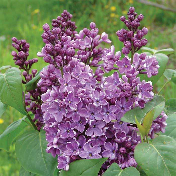 Lilacs (Syringa)