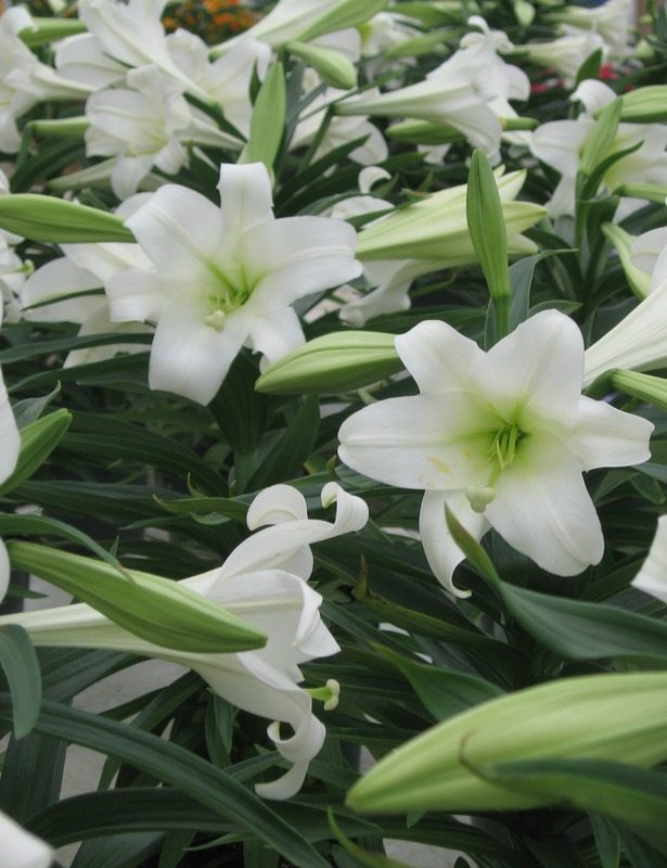 Schwartz Greenhouse & Garden Center easter flower
