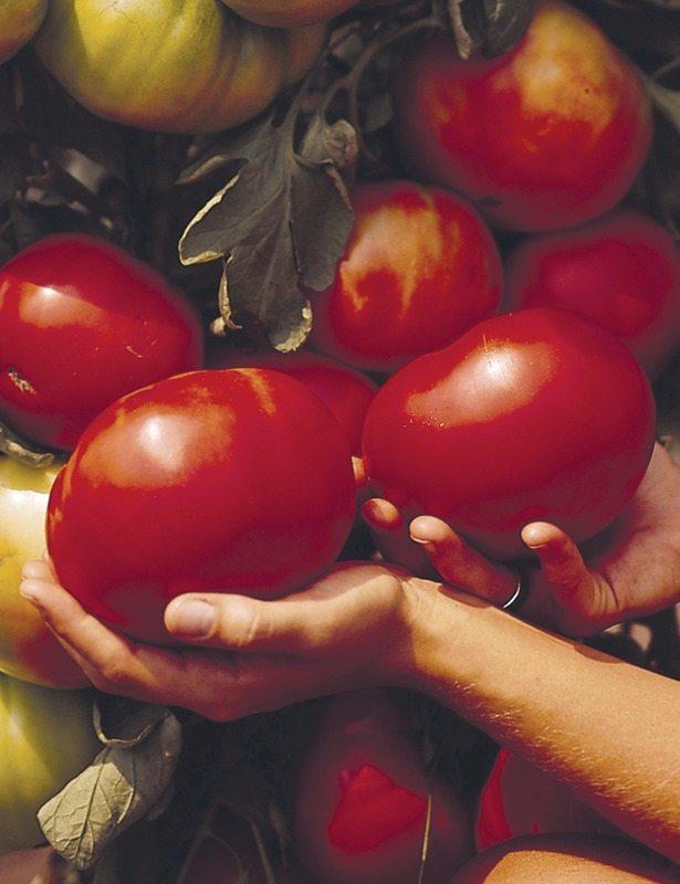Tomato, Beefmaster