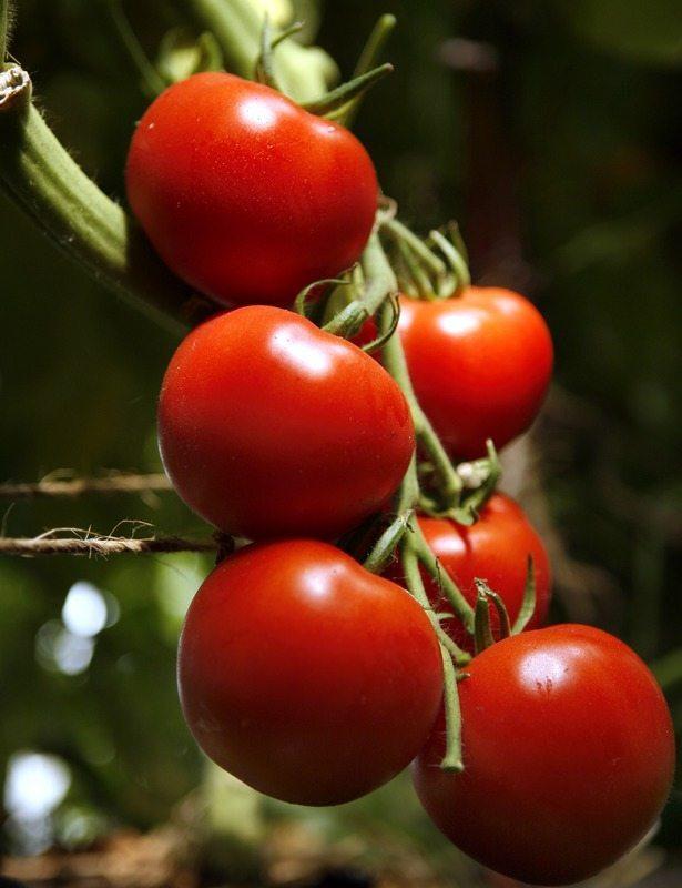Tomato, Early Girl