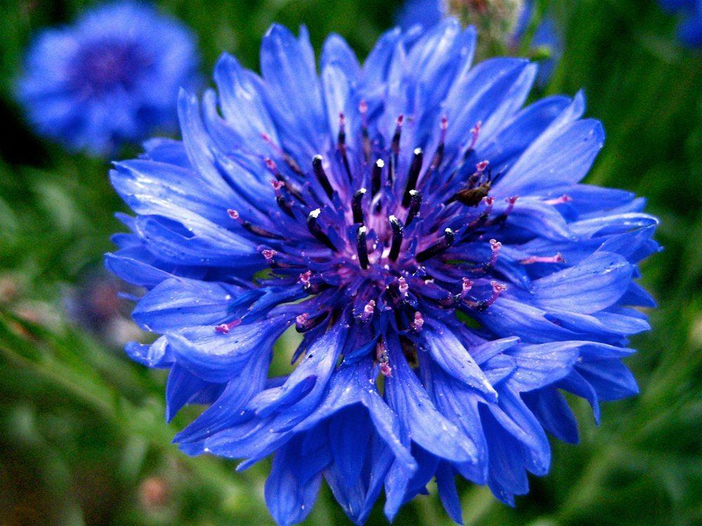 Centaurea (Bachelors button)