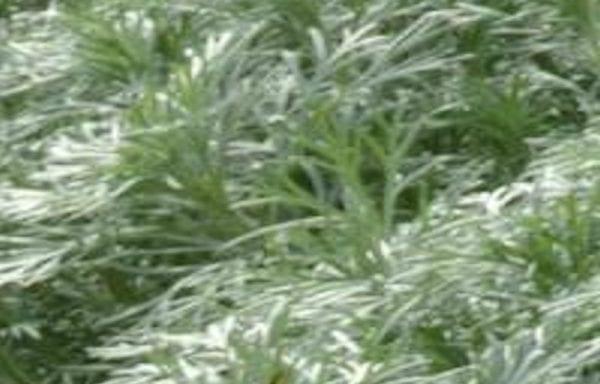 Artemisia (Silvermound)