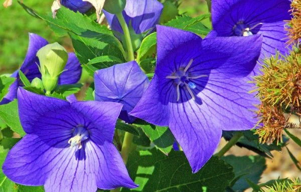 Platycodeon (balloon flower)