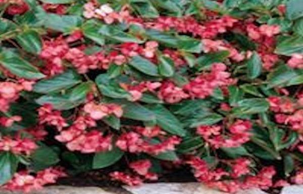Begonia – Dragon Wing