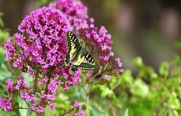 Buddelia (Butterfly Bush)