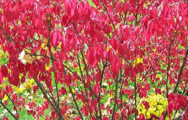 Burning Bush (Euonymus Alatus Compactus)