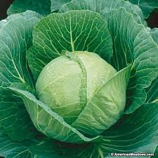Cabbage, Dutch