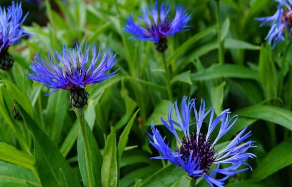 Centaurea (Bachelors button)