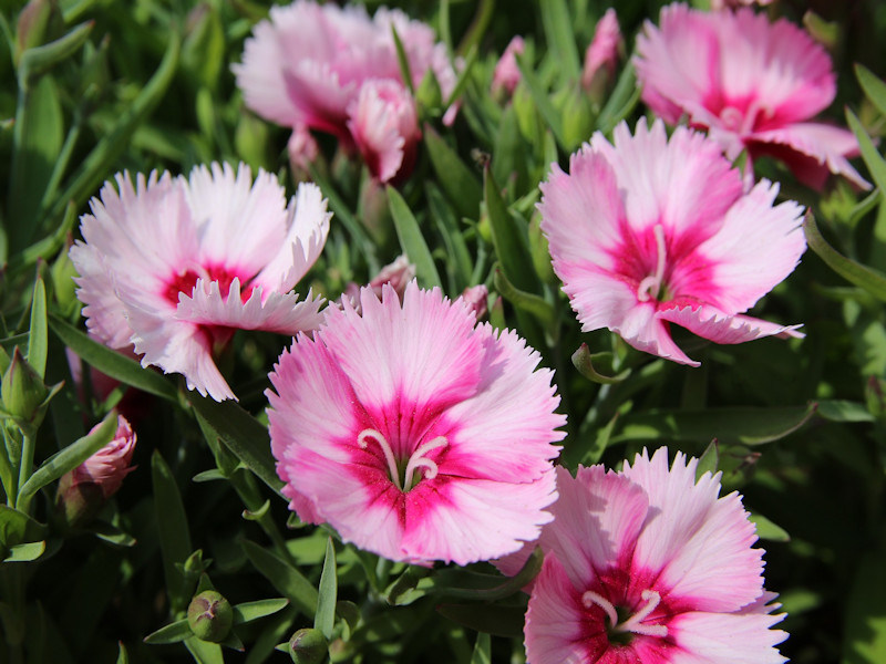 3edcbfc907a4 Dianthus is a brightly colored addition to any garden. Most Dianthus  varieties are heat tolerant and ever blooming