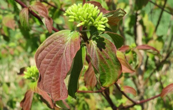 Dogwood, Red Twig (Cornus)