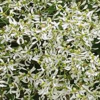 Diamond Frost (Euphorbia)