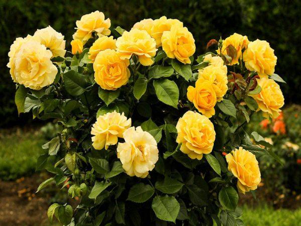 Florabunda Roses