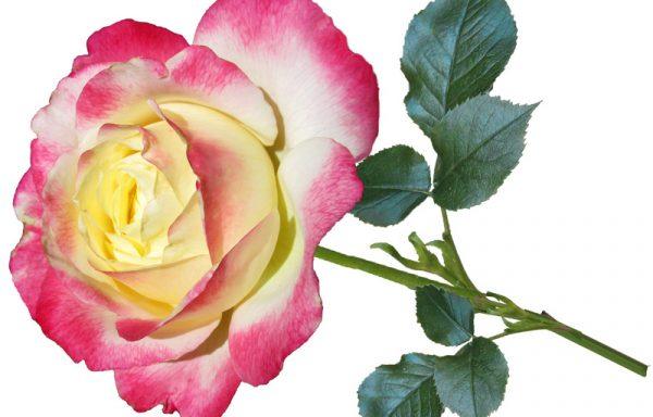 Grandaflora Roses