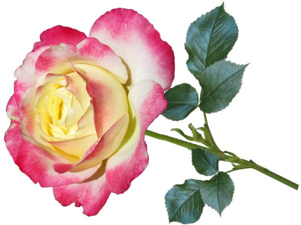 Grandflora Roses