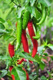 Peppers, Garden Salsa
