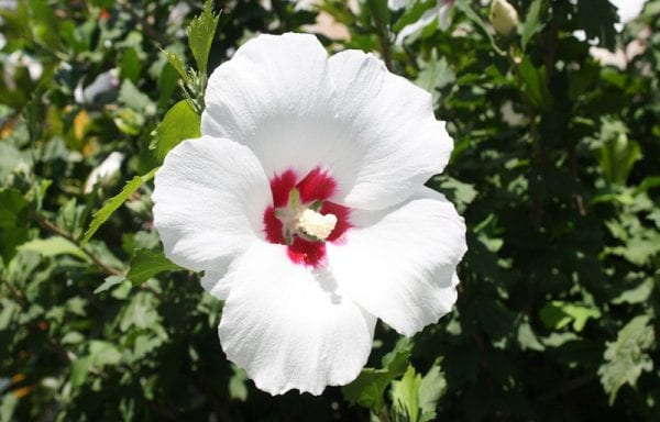 Rose of Sharon (Hibiscus)