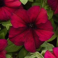 Petunias, Supertunia
