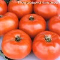 Tomato, Jet Star