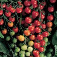 Tomato, Sweet 100