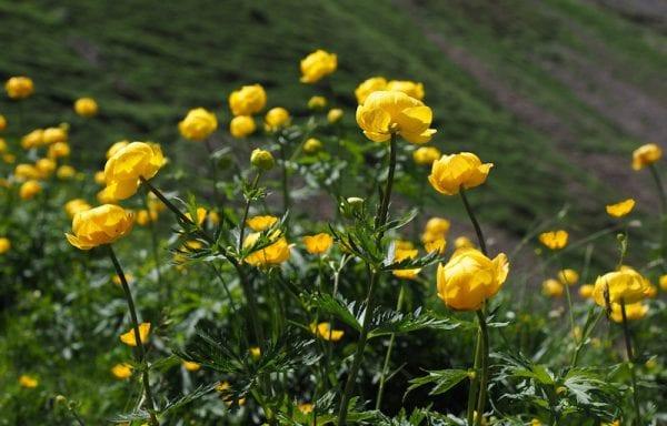 Trollius (Globe Flower)