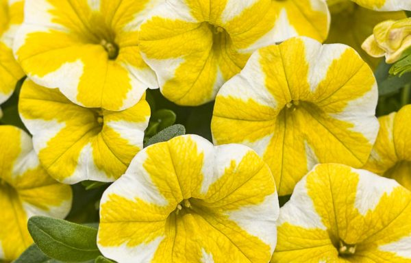 Calibrachoa, Superbells