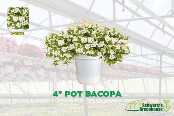 4-inch-pot-Bacopa