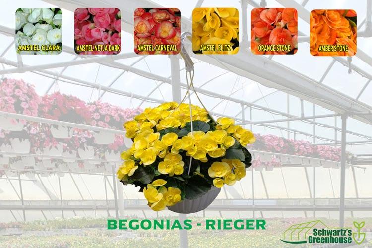 Begonias – Rieger