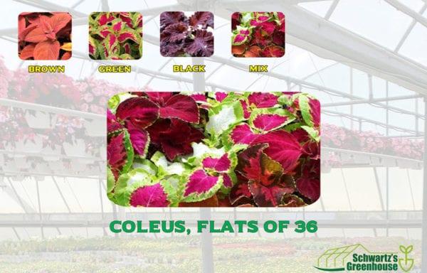 Coleus, Flats of 36