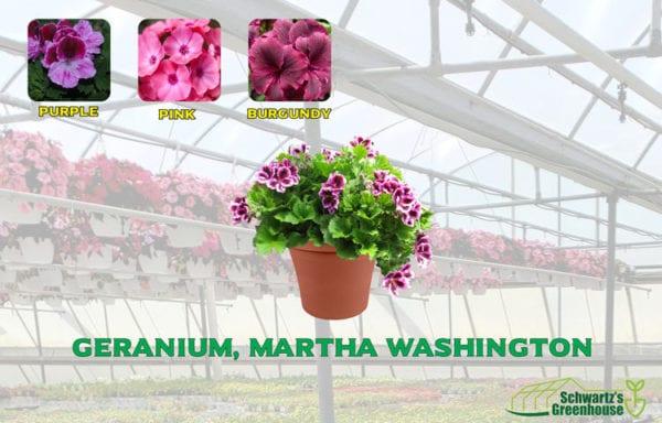 Geranium, Martha Washington