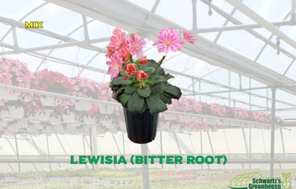 Lewisia (bitter root)