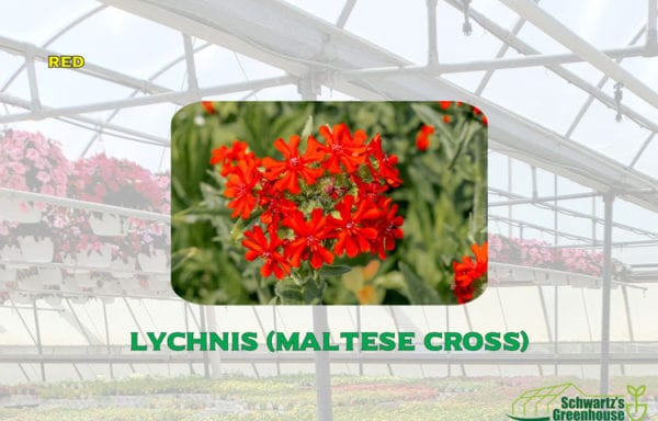 Lychnis (Maltese Cross)