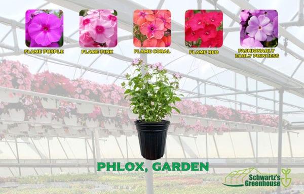 Phlox, Garden
