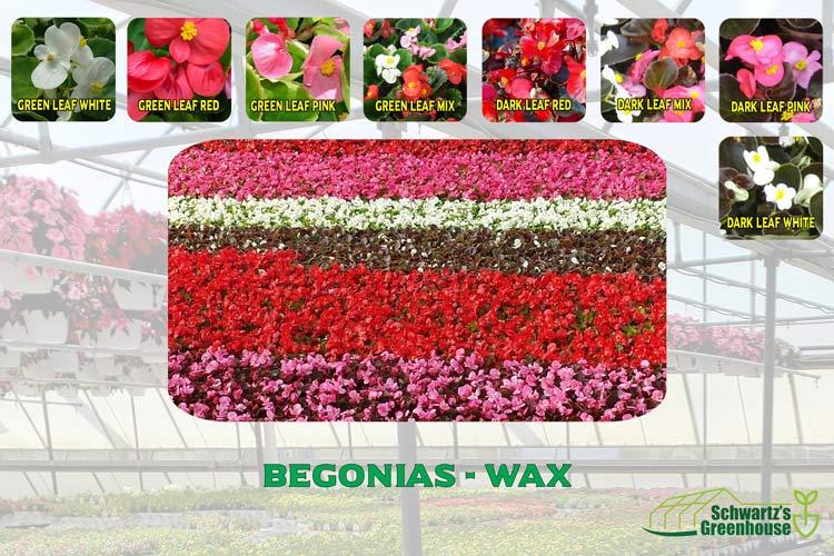 Begonias – Wax