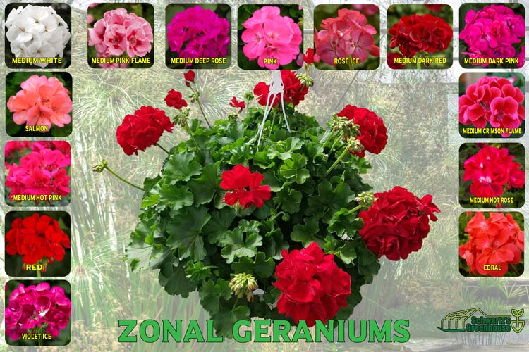 Geranium, Zonal