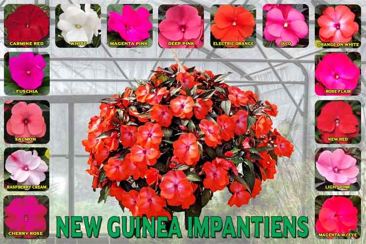 New Guinea Impatient.
