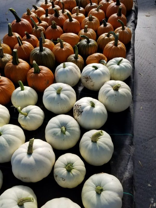 Schwartz Greenhouse & Garden Center pumpkins